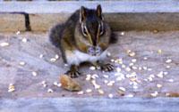 Chipmunkfeeding