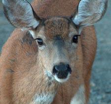 Deercloseup